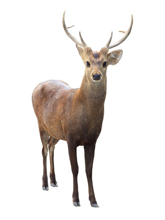 front view of deer isolated white background