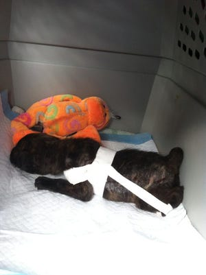 A puppy abandoned Friday, July 11 may have a genetic condition.