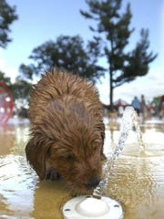 In 2005, Abby, a six-week-old Golden Retriever, checks out a water jet in Marathon Park for A Dog-Gone Pool Party. The pool party was held at the Marathon Park Splash Pad and helped raise funds for families in need for swimming lessons and pool passes for the Wausau Pools