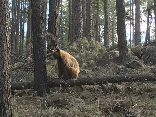 The bear that swiped at an elk calf in a viral video out of Flagstaff.