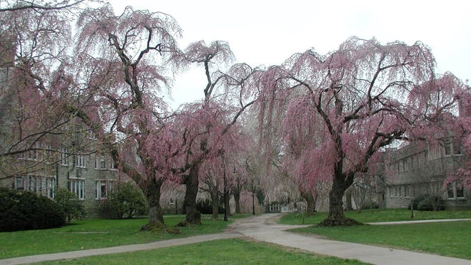 Weeping cherry trees are shown in Bryn Mawr, Pa. George Washington could never have cut down cherry trees like the ones depicted — not because they are so large but because these Asian species didn't arrive in the U.S. until the late 1800s.
