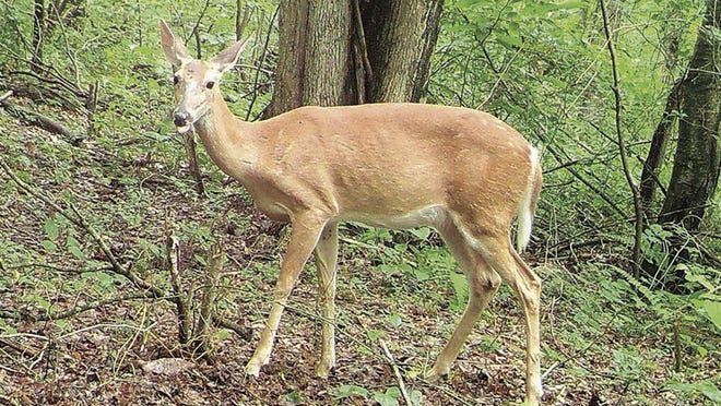 A white-tailed doe is captured on a trail camera near Somerset on Tuesday. The second round of Pennsylvania antlerless license sales starts Monday.