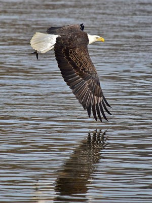 """John Renard of York Township submitted this photo to the YDR Nature and Scenery gallery Dec. 21. Renard writes, """"Skimming the Water. A bald eagle is preparing to snatch a fish on the Susquehanna River, at the Conowingo Dam."""""""