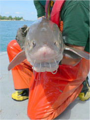 This fish was caught and tagged during the DNR's annual lake sturgeon survey on the St. Clair River. Tagging allows wildlife biologists to monitor sturgeon movements.