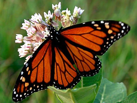 Insect - Monarch Butterfly - Renee Zernitsky.jpg