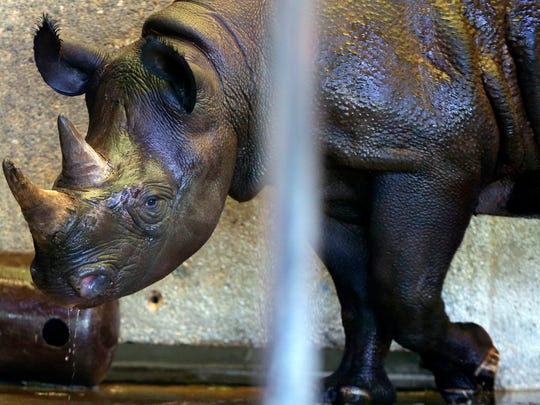 Janine (Jozi) the Milwaukee County Zoo's  new Eastern black rhino, is quarantined after arriving from the Pittsburgh Zoo.