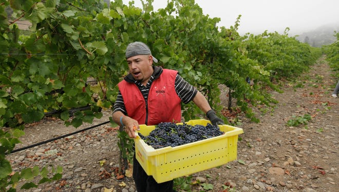 A picker rushes a bin of pinot noir grapes to a trailer after they were picked at the Game Farm vineyard on the first day of harvest for Mumm Napa in Oakville, CA.. The state Senate approved AB1066, by Assemblywoman Lorena Gonzalez, D-San Diego, Monday, Aug. 22, 2016, that would require farmworkers to receive overtime after working eight hours. The measure now goes to the Assembly.