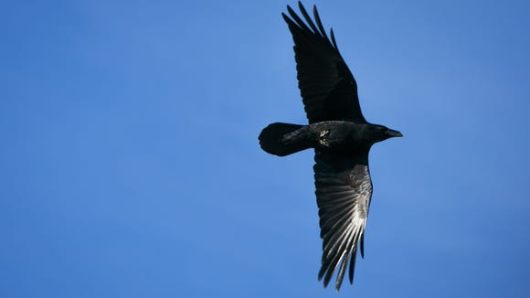 A Chihuahuan Raven (cq) soars as part of a program