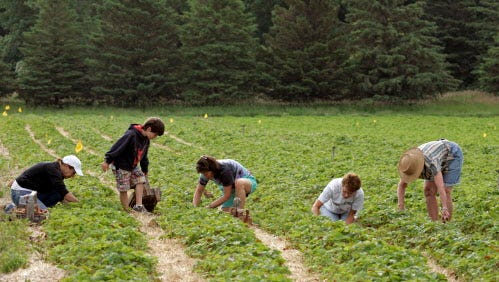 Strawberry lovers get down on their knees picking in the fields at Barthel Fruit Farm.