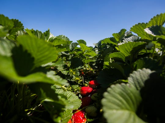 Strawberries are slower than normal to ripen at Callaham Orchards and Anderson County as a whole on Monday, April 10, 2017 in Williamston.