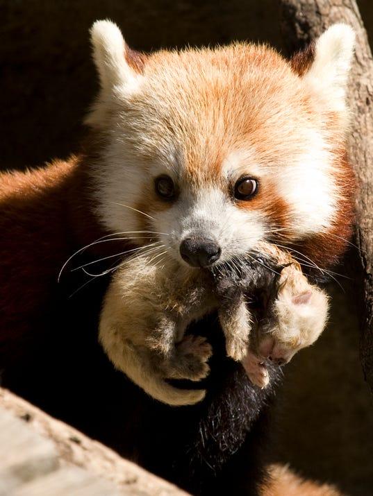061710shama-red-panda-cub