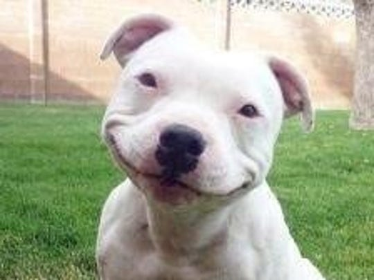 This pit bull terrier is all smiles. Apithan and the Tumbleweed Theater in Columbus, NM is hosting the first-ever Animal Scavenger Hunt Ride on Saturday, Oct. 12. Register from 9:30 to 10:30 a.m at MotoTech, 820 E. Spruce Street in Deming. The scavenger hunt will conclude at 4:30 p.m. at the Tumbleweed Theater in Columbus.