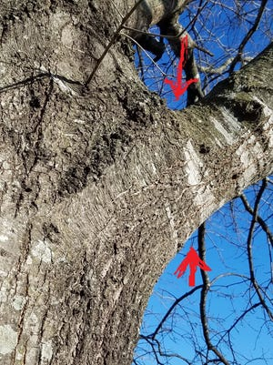 Identifying the limb collar is crucial for proper pruning. The limb should not be cut too close to the trunk nor should there be a stub.