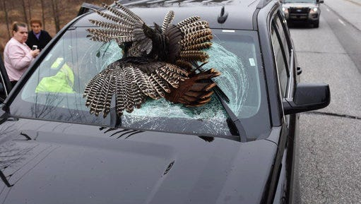 In this Tuesday, March 28, 2017 photo, a dead turkey remains lodged in the windshield of an SUV after it collided with the vehicle near Rolling Prairie, Ind.