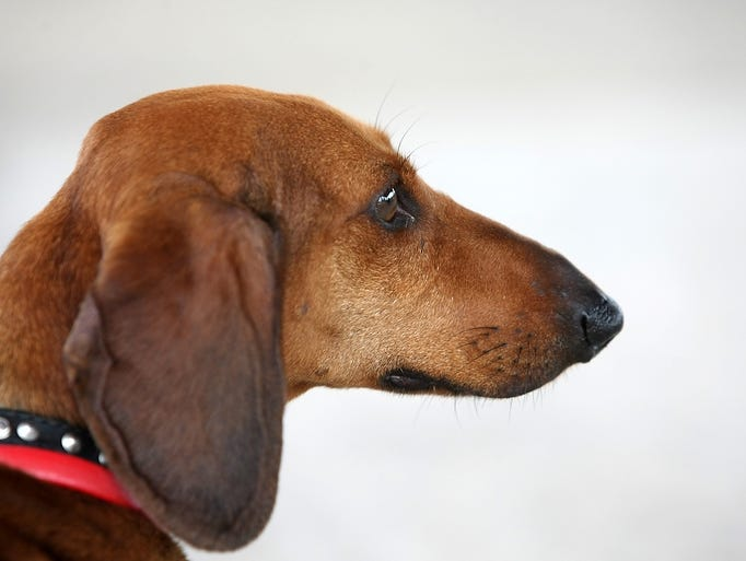 The Dachshund Club of New Jersey hosts a dachshunds-only dog show, Sunday, July 20, 2014, at North Branch Park in Bridgewater, NJ.  Photo by Jason Towlen