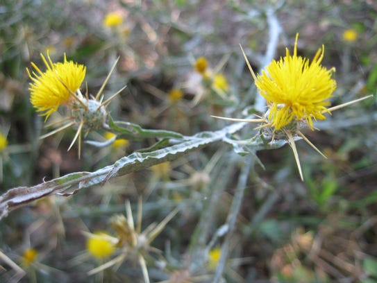 Yellow Starthistle is found in the Gila River Valley.