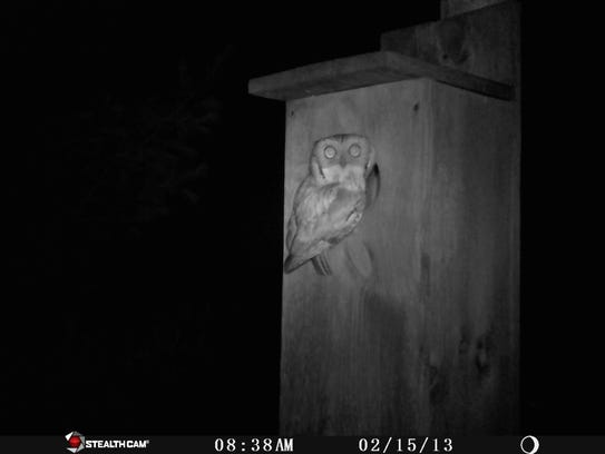 This screech owl gives us a full front view as he is