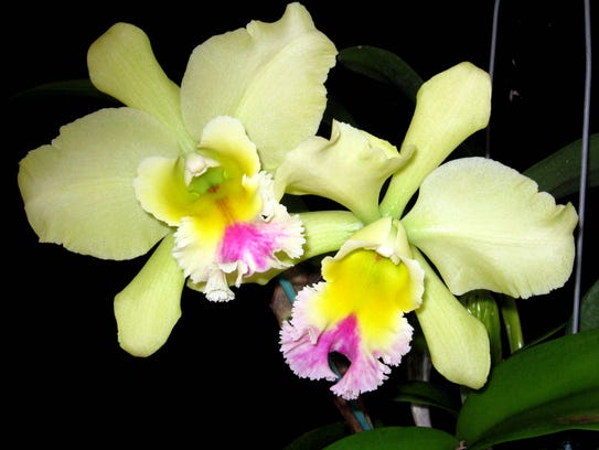 """""""Days of Wine and Orchids,"""" The Platinum Coast Orchid Society's 55th. Annual Orchid Show and Sale will be held Friday through Sunday, May 4 to 6, at Kiwanis Island Park Gymnasium, 951 Kiwanis Island Park, Rd., Merritt Island, on State Road 520 between U.S. 1 ad Hwy. A1A. Photo by Patti and Charles Scholes."""