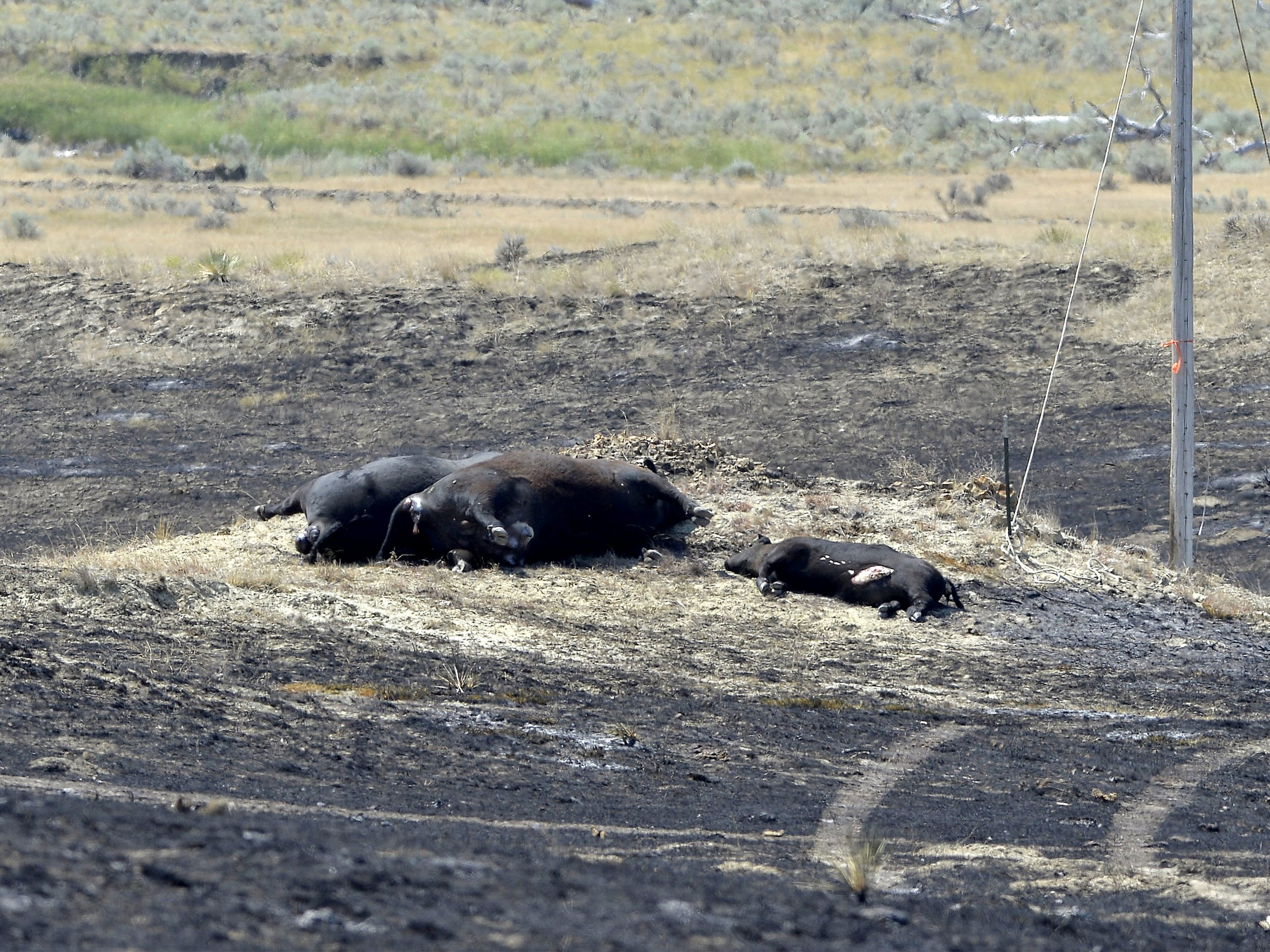 Two cows and calf that died in the Lodgepole Complex fire.  They belonged to the Bliss Cattle Company.