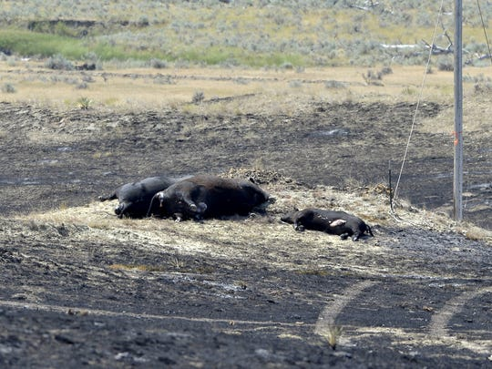 Two cows and calf that died in the Lodgepole Complex