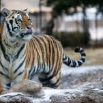 An LSU student is proposing a memorial for the school's bengal Tiger mascots.