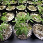 Young marijuana plants stand under grow lamps in January 2015 at the Pioneer Production and Processing marijuana growing facility in Arlington, Wash.