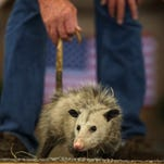 Scenes from the 47th Annual Wausau Possum Festival on Saturday, Aug. 6, 2016.