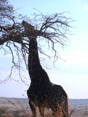 A giraffe at South Africa's Nambiti Private Game Preserve.