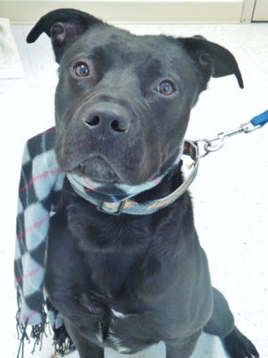 Moose is a 1-year-old lab mix who has tons of energy to spare. He's a really sweet boy who wants to please – he already knows how to sit and shake – but he will need some training. If you've got an active household and time to give this guy plenty of exercise, come meet Moose and see if we can make a match.