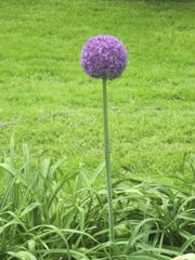 An ornamental onion shows off its purple florets in the Ladies Garden.