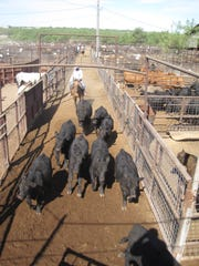 A cowboy at Producers Livestock Auction herds cattle