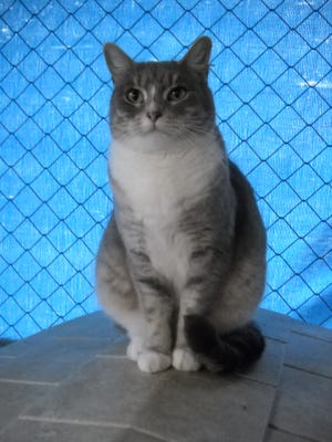 Ginny is a green-eyed Lynx Point mix cat. She is 3 years old and very friendly. Her son Meatball is also available. Raining Cats N Dogs adoptions include spay/neuter services, vaccines and vetting as needed. Call 232-6299. Go to http://rainingcatsndogs.rescuegroups.org