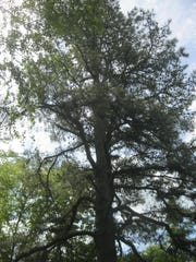 This is the largest pitch pine in the Jamesburg Park
