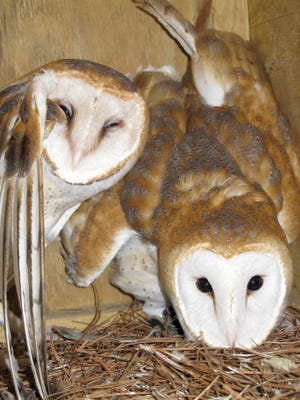 WNC Nature Center's barn owls Ty and Al recently welcomed an owlet.