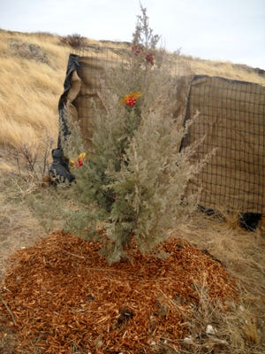 The new Noel Tree has been planted along Interstate 15 near the Manchester Exit.