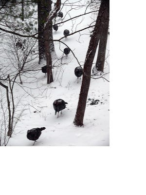 Wild turkeys hurriedly make their way through falling snow and high wind.