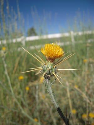 Yerington is cracking down on properties overgrown with noxious weeds.