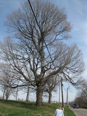 2010 Indiana Big Tree Register black maple.