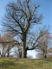 Indiana Big Tree Register 2010 champion blue ash at Deming Park in Terre Haute.