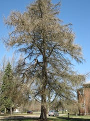 2010 Indiana Big Tree Register champion tamarack at St. Mary-of-the-Woods in Terre Haute.