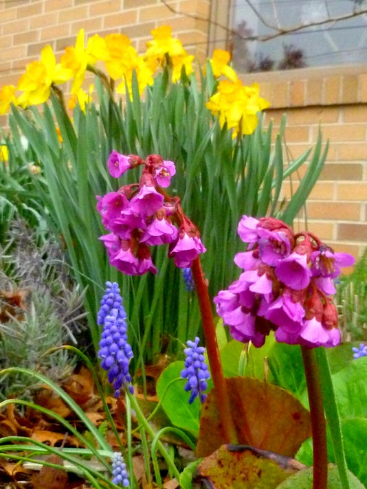Winterglow pigsqueak, grape hyacinth, and daffodils_edits.jpg