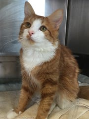 Ford is a 9-month-old, medium-haired cat who was surrendered to the shelter because his owners could no longer afford him. This handsome orange-and-white boy will make someone a fantastic companion.