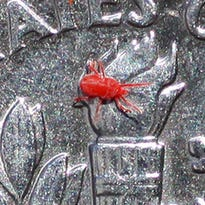 The Hoosier Gardener: Tiny mites leave red stains