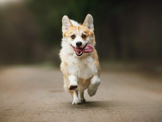 Ask-Amy-cute-corgi-dog