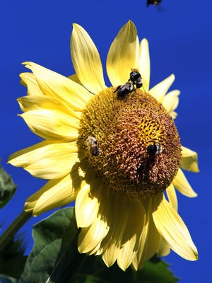 A bumble bee flies above as sunflower as others gather nectar and pollen from the flower's seed disk.