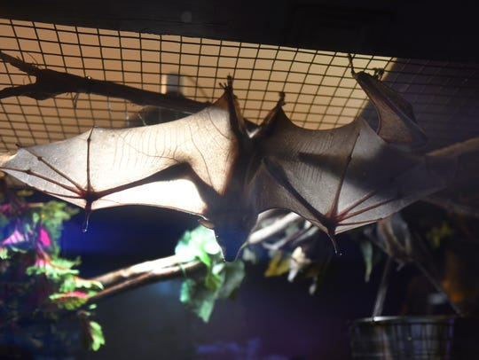Straw-colored fruit bats.