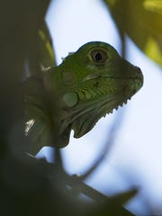 A green iguana blends in among the foliage on Sanibel