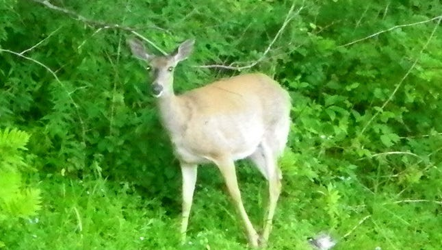 A curious doe is caught by the camera in her wooded environment.