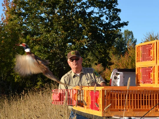 Ron Bramlett, a wildlife habitat technician with the Oregon Department of Fish and Wildlife, stands clear as a bronze, red and white blur of a pheasant shoots out of a crate and out onto E.E. Wilson Wildlife Area.