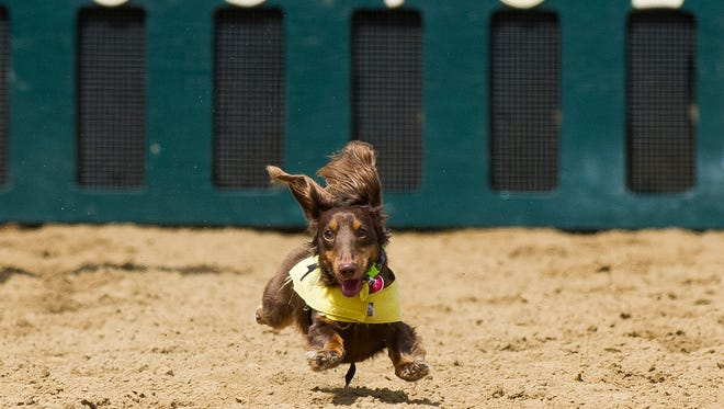 Andy, a two-year-old long-haired miniature dachshund belonging to Andrew Tumey, of Evansville, runs for the finish line during wiener dog racing trials at Ellis Park in Henderson, Saturday, Aug. 20. 2016. Winners from Saturday's races will compete in the finals on Aug. 27.